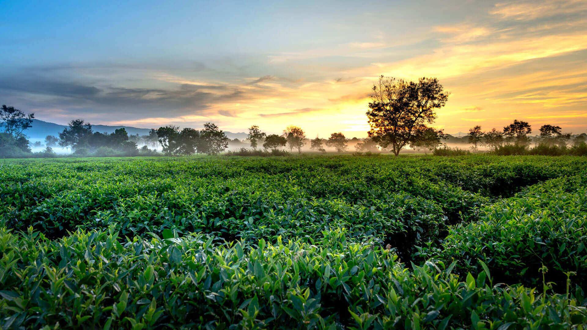 The Golden Crown Hotel - Hanthana Tea Plantation