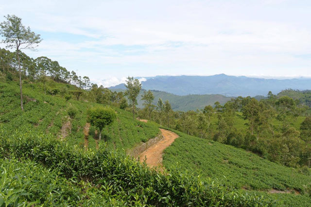 The Golden Crown - Giragama Tea Plantation
